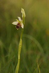 Pale Bee Orchid (Derbyshire Harrier) Tags: 2017 beeorchids ophrysapifera peakdistrict peakpark derbyshire easternmoors grassland moorland summer pale rspb nationaltrust june d