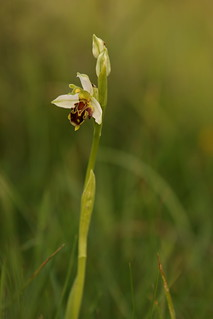 Pale Bee Orchid
