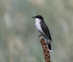 Eastern Kingbird (fethers1) Tags: rockymountainarsenalnwr rmanwr rmanwrwildlife coloradowildlife birds