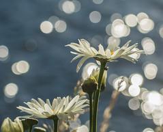 Quite Times. (Omygodtom) Tags: flower river daisy white yellow sparkle tamron tamron90mm nikkor natural naturelovers nikon nature usgs urbunnature d7100 bokeh digital 7dwf scene scenic senery setting