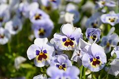All are ready (dfromonteil) Tags: fleurs flowers pensées blue purple yellow bordeaux jaune violet bleu vert green colors couleurs nature bokeh light sunlight ensoleillé