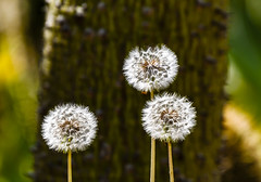 Dandelion seeds at Cap Ferrat, France 31/3 2017. (photoola) Tags: capferrat blommor rotschild dandelion seeds france photoola garden