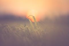 Bloodbuzz (der_peste) Tags: sunset sundown sun sunlight field wheat ear spike corn rural bokeh dof dephtoffield shallowdepthoffield bloodbuzz thenational bloodbuzzohio blur sonnenuntergang mood atmosphere