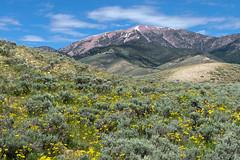 Massive Bear Mountain in the Lemhi Range (spotwolf5) Tags: lemhimountains bearmountain wildflowers idaho