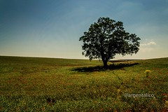 The tree of life (argentalico) Tags: italia altamura bari puglia apulia 500px