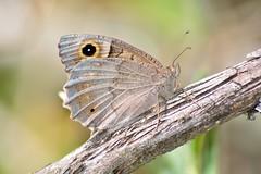Hipparchia statilinus (jotneb) Tags: natureza animais insectos vidaselvagem lepidoptera borboletas arlivre portugal verão