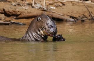 Giant River Otter Enjoying A Fish Dinner (Pteronura brasiliensis)