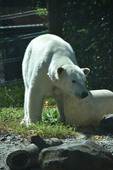 MZB 6.20.17 group1DSC_0114 (lwolfartist) Tags: bear mammal animal nature polar