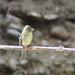 IMG_3950 Pacific-slope Flycatcher - Empidonax difficilis