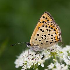 Borboleta - Butterfly (Francisco (PortoPortugal)) Tags: 1572017 20170505fpbo5573 natureza nature borboleta butterfly verão summer porto portugal portografiaassociaçãofotográficadoporto franciscooliveira