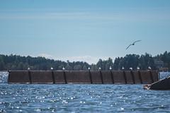 Lined Up (Bunaro) Tags: summer sea seagull bird line lined up breakwater aurinkolahti beach suomi finland helsinki blue sky