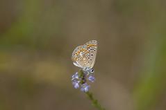 Niña bonita (Aristides Díaz) Tags: plebejushespericus mariposa macro campo pradera pdc sigmaapo180macrof56 licénido