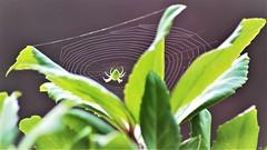 l'araignée au soleil (karine_cattier) Tags: araignée vert macro macrounlimited cmwd smileonsaturday bizarrebugs 7daysofshooting inthegarden geometrysunday