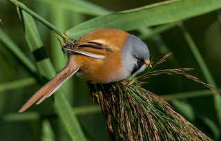DSC9666  Bearded Reedling..