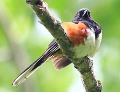 eastern towhee male at Loras Woods WMA IA 854A3486 (naturalist@winneshiekwild.com) Tags: eastern towhee male loras woods wma winneshiek county iowa larry reis