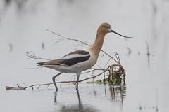 American Avocet (Peter Stahl Photography) Tags: americanavocet wader elegant shorebird water summer