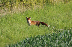 Oh, I've been spotted ! (aaron19882010) Tags: fox red brown green grass corn fields nature wildlife outdoors outside wild animal mammal white tail bush canon 750d sigma 600mm 150mm