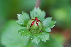 scheinerdbeerfrucht (mwo_w_GERMANY) Tags: mario wolff mwoaqwode blüte blüten blütenstand bluete bluetenstand scheinerdbeer scheinerdbeere indische falsche erdbeere scheinfrucht potentilla indica