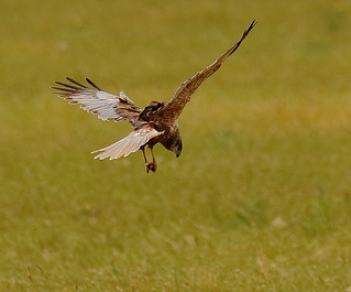 Marsh Harrier with meal!