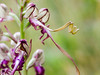 _EF02930 (_ef_) Tags: pilis himantoglossum jankae janka sallangvirág