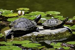 Enjoying The Sun (Explored 7/2/2017) (punahou77) Tags: hakonegardens garden turtles turtle water pond lilypad nature nikond500 stevejordan california saratoga punahou77 park rock