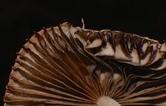Mushroom changes Airlie Beach rainforest rotting log P1000500 (Steve & Alison1) Tags: pleated parasole inkcap mushroom galerella sp psathyrellaceae airlie beach rainforest