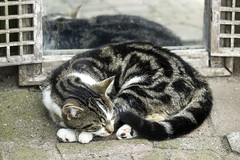 Afternoon nap (Martijn A) Tags: lemmy cat kat sleep slapen pet huisdier canon550ddslreos canon70200mmf4lis wwwgevoeligeplatennl