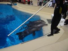 DSC00590 (jrucker94) Tags: vegas water dolphin swimming show secretgarden