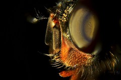 House Fly Macro (Paul_Dean) Tags: housefly fly macro closeup ugly scary