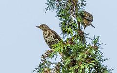 Mistle thrush 2 (Bojan Žavcer) Tags: songthrush bird animal wildlife cikovt turdusphilomelos ef600mmf4lisusm canoneos7dmarkii canonflickraward