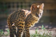 baby serval (rondoudou87) Tags: pentax k1 parc zoo reynou serval wildlife wild sauvage smcpda300mmf40edifsdm cute mignon kawai nature natur