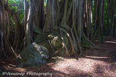 Turtle Bay 26 (venusnep) Tags: turtlebay turtle bay hawaii travel travelphotography north shore northshore may 2017 nikond610 nikon d610 banyantree banyan tree