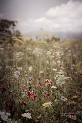 (Rebecca Watson Photography) Tags: flowerfield meadow poppies landscape dreamy dreamscape provence