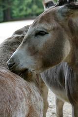 a little cuddling ... (Herr Nergal) Tags: animals love fz1000 lumix panasonic deutschland pfalz tiere saarland daun liebe schmusen spass pferde esel pony hank thank