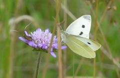 Large White butterfly (Steeple Ducks) Tags: butterfly butterflies wiltshire upton scudamore a350 bank embankment verge road
