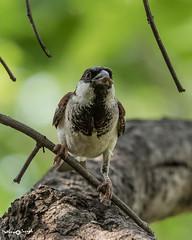 House sparrow (mathewindelhi) Tags: sparrow bird birds india delhi indianbirds nature wild wildlife asola