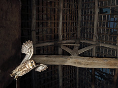 Wide angle shot of Little Owl swopping on prey in the barn, work in progress. (roy rimmer) Tags: