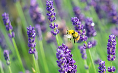early fly-by (Simple_Sight) Tags: bumblebee early morning lavender flower plant green garden purple yellow insect animal monday blue blues macro closeup bokeh fly flying ngc npc