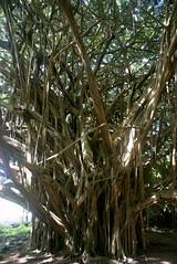 DSC03738 Edit (washuugenius) Tags: photo hawaii hilo tropical flora wailukuriverstatepark tree banyantree