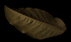 Shapes Shadows And Textures in a Magnolia Leaf (Bill Gracey 21 Million Views) Tags: magnolia leaves leaf shapes shadows textures shadowshapes perspex offcameraflash softbox yongnuorf603n yongnuo sidelighting blackbackground reflection macrolens detail color brown homestudio tabletopphotography