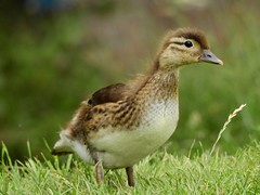 Mandarin duckling (PhotoLoonie) Tags: mandarinduck duckling mandarinduckling nature wildlife duck