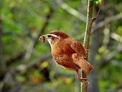 CAROLINA WREN (JAMES F BURNS) Tags: carolinawren wren birdsofamerica birdsoftheworld birds wrens small large sparrow little top rusty red brown white eye eyestripe cream creamy yellow breast call tea teakettle kettle sound pickup move leaves debri watch bugs spiders feed food range eastern us mexico nature wildlife jamesburns jamesfburns james burns beautiful beauty colorful worm grub midapril2013 dscf0210 posted63017 1232pm