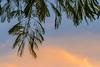 Rien que pour vous ..ce soir (beatricedrevon) Tags: albizia motsclésgénériques vegetation flore jardinathome