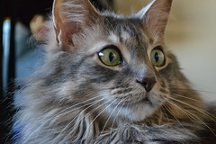 Closeup (Vegan Butterfly) Tags: jack animal cat feline cute adorable fur furry maine coon bed face eyes