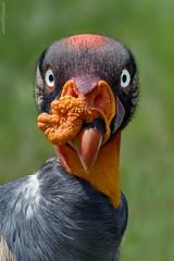 Königsgeier (marionB-fotografie) Tags: tier tiere animal animals vögel vogel greifvögel greifvogel geier tierparkberlin bird