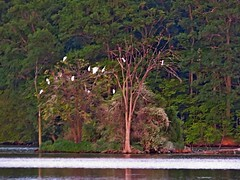 Great Egret Roost (sorry for the poor quality image, shot after sunet, handheld at very slow shutter speed and high ISO) (Photos by the Swamper) Tags: greategrets