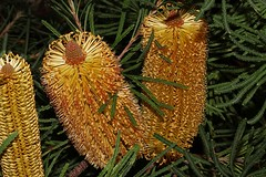 Banksia ericifolia (andreas lambrianides) Tags: banksiaericifolia proteaceae heathleavedbanksia australianflora australiannativeplants nsw