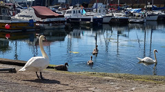 """""""Come along children...this way"""" (crusader752) Tags: swans swan cygnets boats boat reflection reflections southwick marina shorehamharbour"""