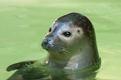 Kleiner Seehund (grasso.gino) Tags: tiere animals natur nature zoo duisburg seehund robbe seal nikon d5200 niedlich cute