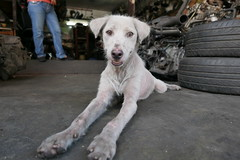 still at the engine surplus (DOLCEVITALUX) Tags: dog untidydog surplusshop spareparts animal lumixlx100 panasoniclumixlx100 philippines streetpassionaward